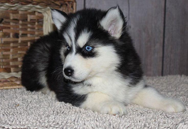 Alaskan Husky Puppies For Sale Indiana Ideas