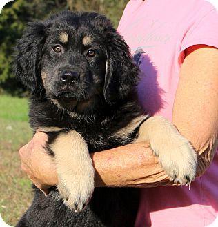 Glastonbury, CT - Great Pyrenees/Golden Retriever Mix. Meet Whistler, a puppy for adoption. http://www.adoptapet.com/pet/14292387-glastonbury-connecticut-great-pyrenees-mix
