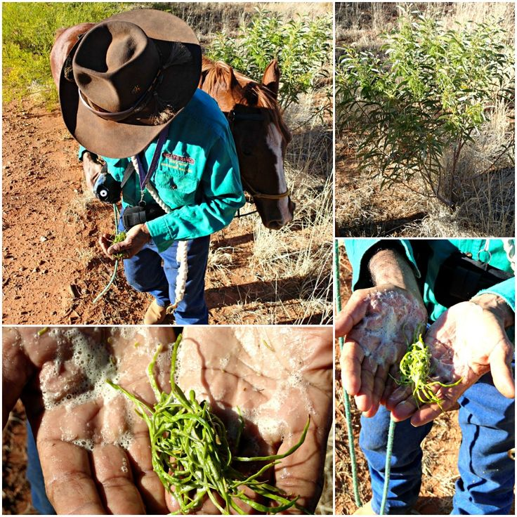 Bush Tucker - The remarkable Soapbush