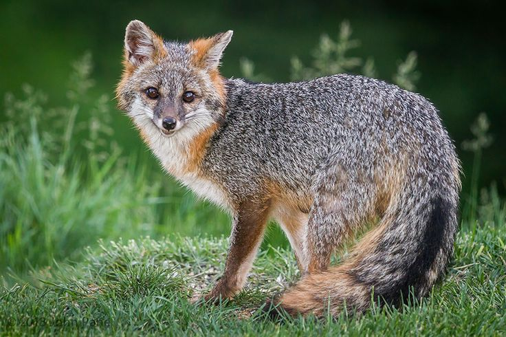 """The gray fox, which lives throughout North America, is distinguished by its """"salt-and-pepper"""" upper coat and black-tipped tail. This fox is one of the only canids capable of climbing trees. (Image credits: John Pane)"""
