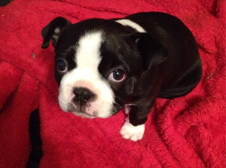 This Little Puppy will Celebrate her First Christmas! - Mercedes from Altavista, USA (Photo) - http://www.bterrier.com/little-puppy-will-celebrate-first-christmas-mercedes-altavista-usa-photo/