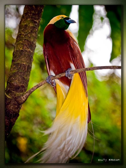 The lesser Bird of Paradise---don't know why he is lesser!: Colorful Birds, Lesser Bird, Bird Of Paradise, Beautiful Birds, Beautifulbirds, Photo, Animal