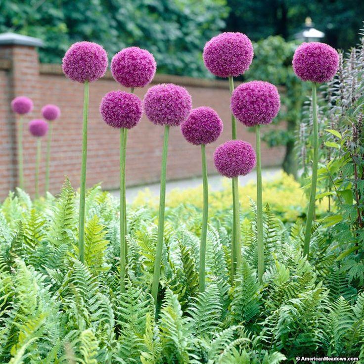Purple Allium giganteum, Allium giganteum, Persian Onion