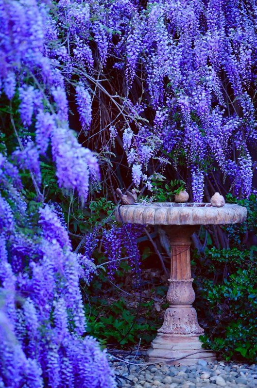 The wisteria is beautiful and I like the old bird bath too.