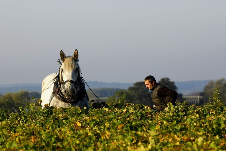Le tribunal administratif de Dijon vient de rendre sa fierté à Alexandre Bain dont la passion est de réaliser «un pur vin de terroir» .