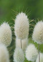 Семена цветов, деревьев, кустарников, пальм, комнатных растений - Зайцехвост