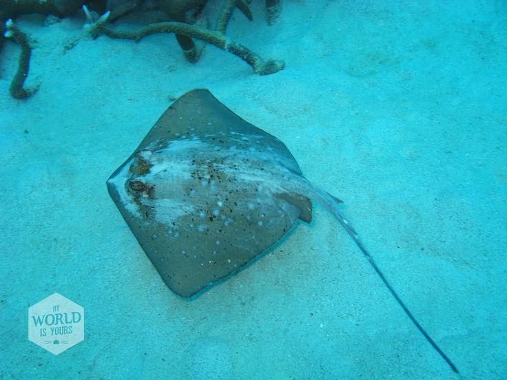 """...""""Een pijlstaartrog die met zijn vleugels het witte zand verstuift: flits!"""" Reisverhalen en tips over het Great Barrier Reef in Australië vind je op http://www.myworldisyours.nl/places/cairns Photo: Sting Ray, Great Barrier Reef, Australie"""