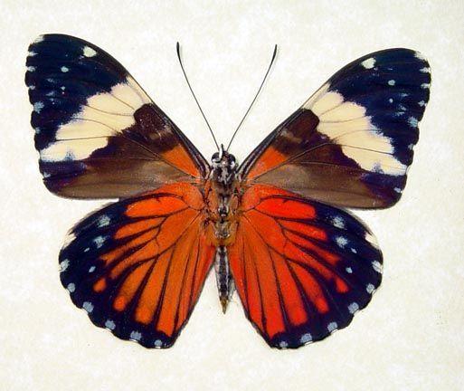 peru butterflies | Hamadryas amphinome The Red Cracker Butterfly from Peru Beautiful ...: