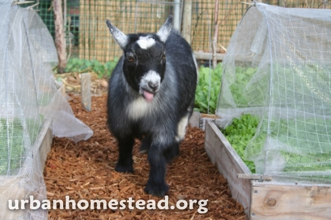 backyard goats on pinterest goat playground goat milk and the goat
