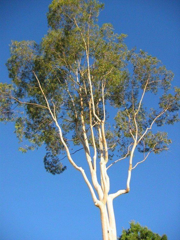 Eucalyptus Tree Care Tips On Growing Eucalyptus Eucalyptus