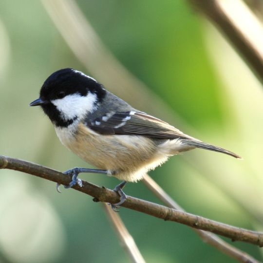 Coal tit. The smallest member of the tit family.