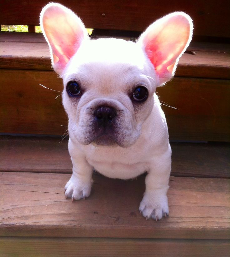 French Bull Dog, Male for sale, show quality!