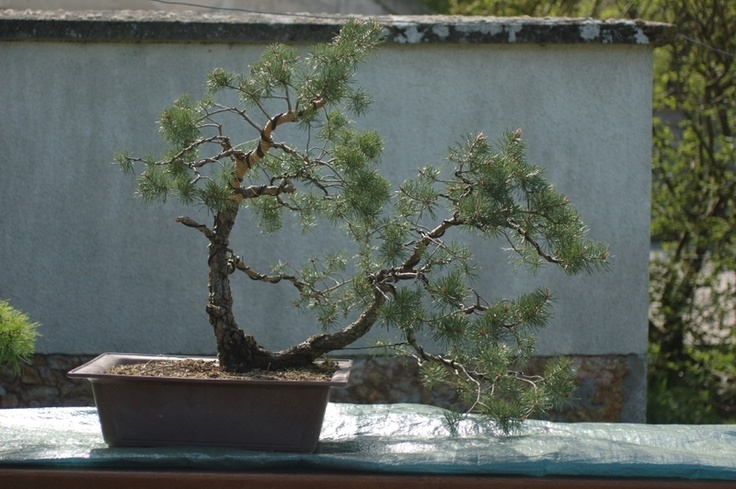 PinusJournals Of, Pine Bonsai, The Journals
