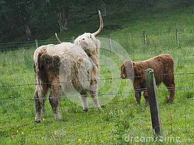 White Highland cow in the rain, scratching its back with horns. With brown calf in fenced-off field near Callander, in the Trossachs, Scotland.