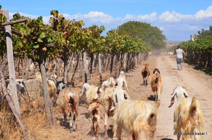 Italie - Les Pouilles - vignes et biquettes