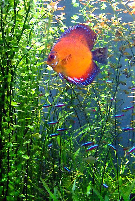 #Discus d'#Aquarium:(www.facebook.com/GRAINE.DE.MARIN)
