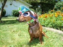 SummerTIme - this doxie is all ready for it!