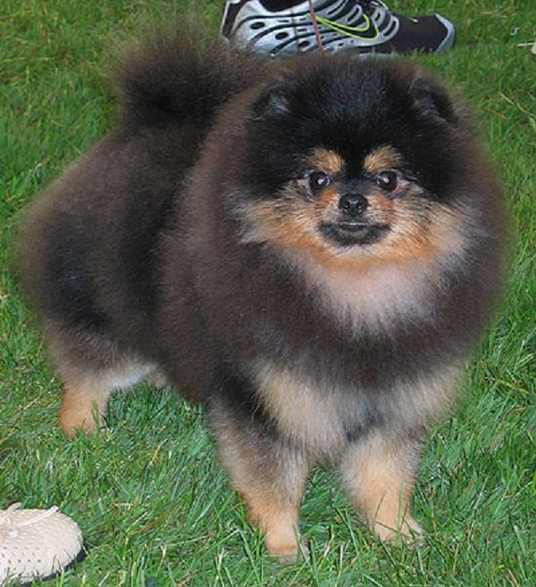 brown and black pomeranian puppy | Zoe Fans Blog