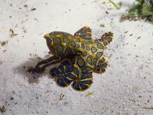 Interesting Blue ringed octopus facts!  Read more about Blue ringed octopus by clicking the picture!