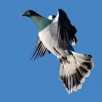 The Kereru Bird Of The Year 2012 perhaps?