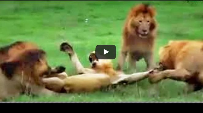 When there are no preys to feed on, a four member group of Lions opted to using a lioness as the meal for the night. The lioness would not believe it until she was killed,