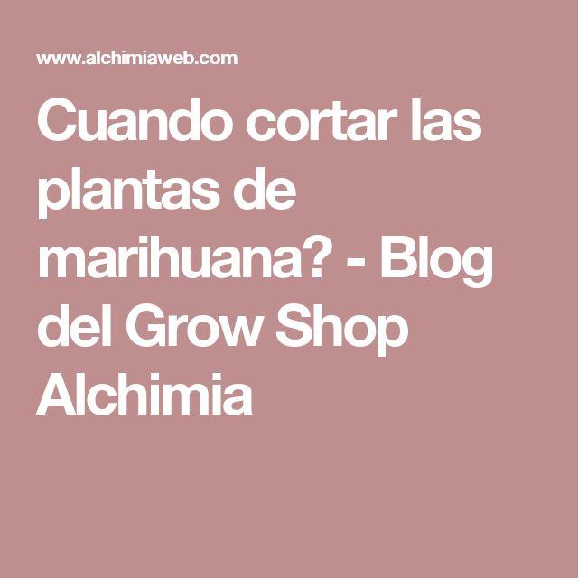 Cuando cortar las plantas de marihuana? - Blog del Grow Shop Alchimia