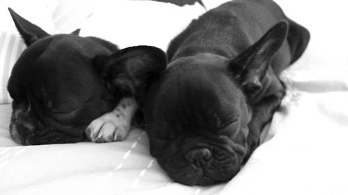 sleeping frenchies