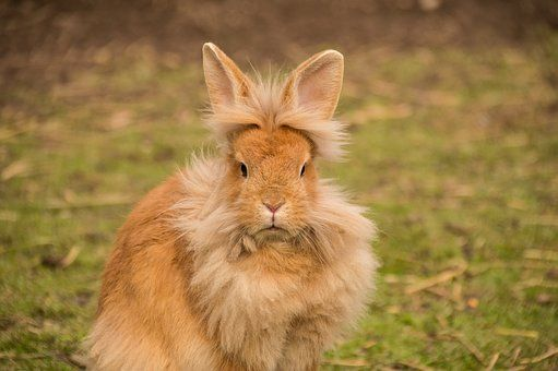 Hare, Rabbit, Lion Head, Bunny