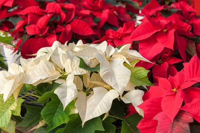 Christmas Poinsettia Meaning Symbolism Of Poinsettias Christmas Poinsettia Poinsettia Christmas