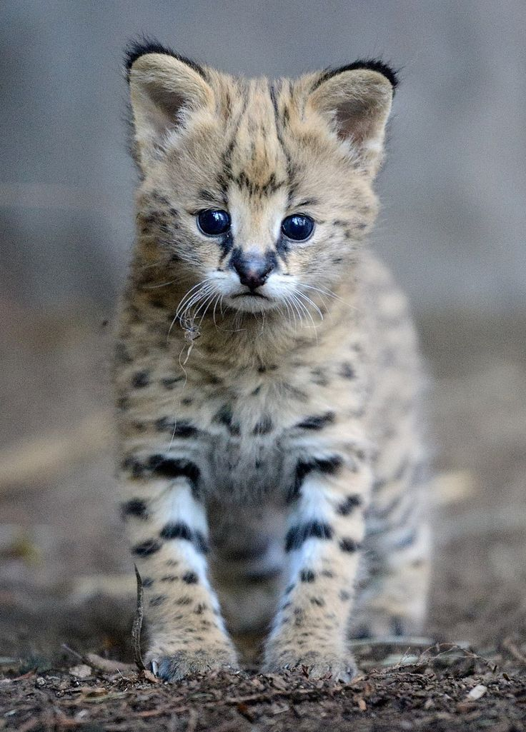 Little Serval by Mike Wilson.