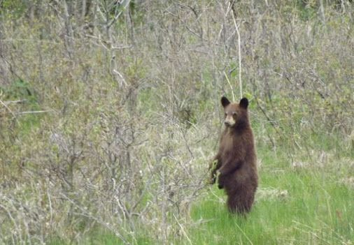 Bear standing ovation. #canadawildlife #bearwatching