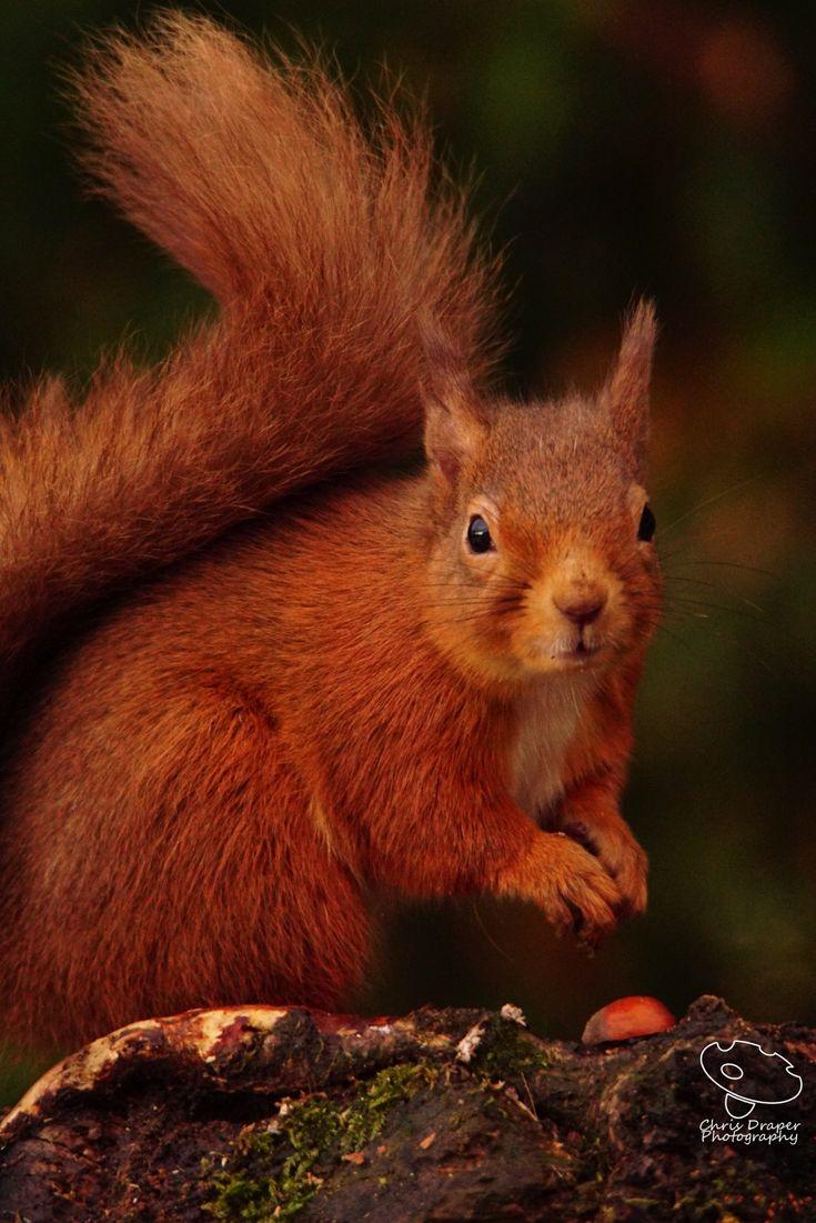 Red Squirrel - Cairngorms, Scotland