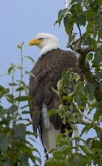 Science Kids - Bald Eagle Facts for Kids