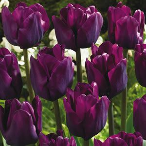 Tulipa Saigon Has Deep Purple Blooms The Triumph Tulips Are Hardy Very Reliable They Ideal For Garden Beds And Pots Long Lasting Flowers In