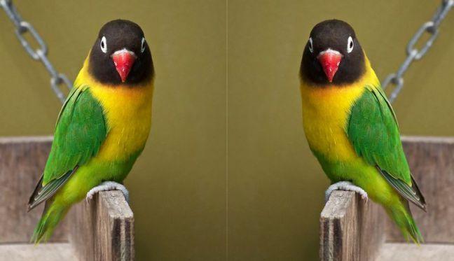 10 Jenis Lovebird Yang Paling Bagus Dan Trend Warna Lovebird Terbaru Burung Gambar Kandang Burung