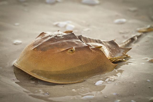 Horseshoe Crab Horseshoe Crab Beautiful Sea Creatures Deep Sea Creatures