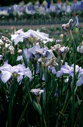 RHS Plant Selector Iris ensata 'Continuing Pleasure' / RHS Gardening
