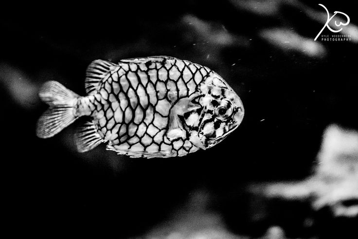 Monochrome Pineapplefish in Durban South Africa