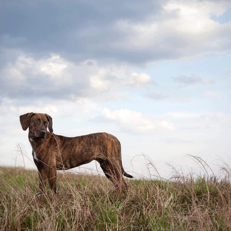 Plott Hound. Gorgeous dogs