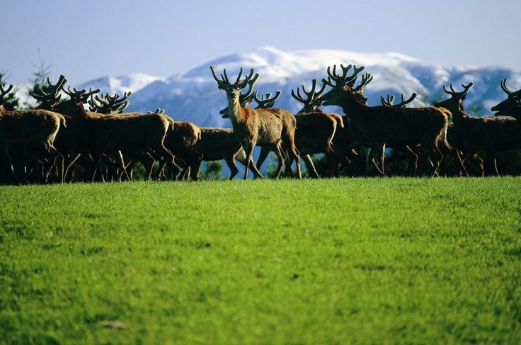 Some of the stags on our farm.