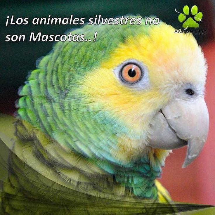 @Regrann from @mascoteandove -  Los #animales silvestres son especies hermosísimas que nutren nuestra #fauna y llenan de color y sonidos los rincones de nuestro #país #Venezuela. Sin embargo es importante recordar que comprar o venderlo puede llevarte tras las rejas. De tres a cinco años de cárcel o multa de 3.000 a 5.000 unidades tributarias es lo que pena el artículo 77 de la Ley Penal del Ambiente vigente desde el año 2012.  Dentro de esta lista de animales silvestres se encuentran…