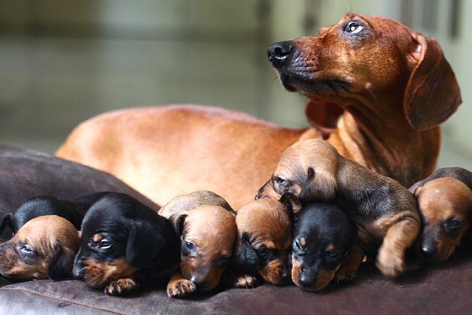Dachshund Information Including Pictures Training Behavior And