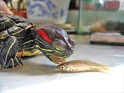 What food do red-eared slider turtles enjoy eating, aside from pork? - Quora