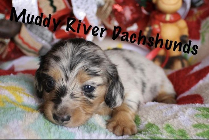 pitbull puppies for sale in texas dfw