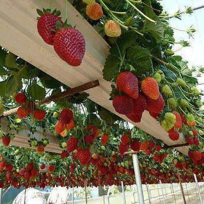Gutters built into a pergola, and planted with strawberries.