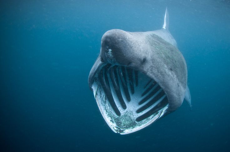 A giant basking shark poses for the camera in the Outer Hebrides, Scotland