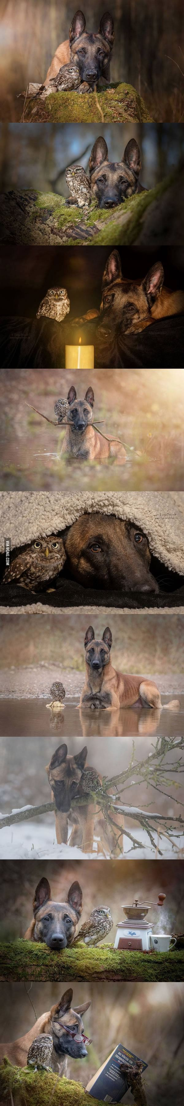 A Belgian Malinois and an Owl formed an unlikely friendship