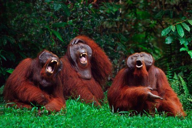 Three native Sunda Isles Orangutans are cracking upon seeing a photographer in Borneo, Indonesia.