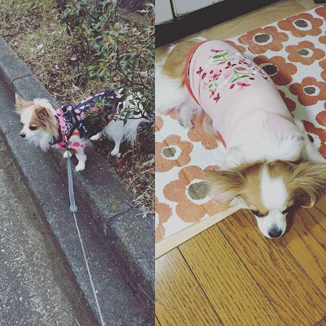 おはようございます☁️ 雪❄️が降らないうちにお散歩❤️ 鳥の骨🐔☠️を拾い食いしようとして慌てて取り上げました😱 お散歩疲れた様子(笑) #いぬすたぐらむ #dogstagram #パピヨン #チワワ  #ミックス  #犬  #パピチワ #チワパピ  #スイカ #わんこ #すいか #犬バカ #パピヨンラブ #スムチー  #うちのわんこ #愛犬 #犬バカ #大好きわんこ #chihuahua #Papillon #dog