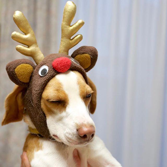 Merry Christmas 🎄  トナカイモカさん、出動拒否💦 Mocha dressed up as Reindeer✌🏻️. #ビーグル #レモンビーグル #犬 #beagle #beaglelife #beagleloveit #トナカイモカ #なんでアタイがサンタじゃないの #嫌がるモカさん